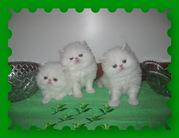 Персидские котята +373 68585035