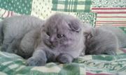 Британские и вислоухие котята+373 78857895