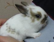 Декоративные ручные кролики. Не дорого!